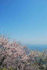 赤穂御崎の桜3