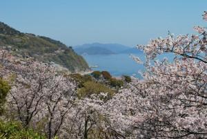赤穂御崎の桜5