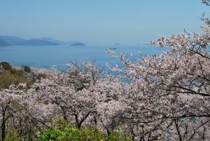赤穂御崎の桜6